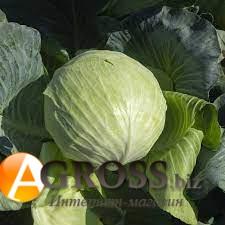 Семена капусты Саксесор F1 - фото 9664