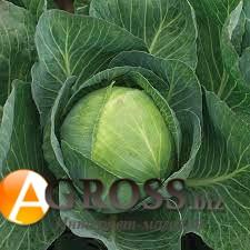 Семена капусты Продикос F1 - фото 9685