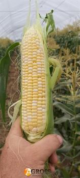 Семена кукурузы Ксанаду F1 (Нирвана F1) - фото 9721