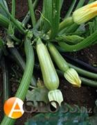 Семена кабачка Сцилли F1
