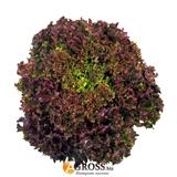 Семена салата Лолло Росса (SAIS)
