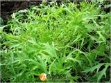 Семена салата Мизуна Зеленая 50 г