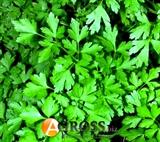 Петрушка листовая Богатырь