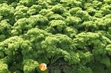 Семена петрушки кучерявой Астра 100 г (Moravo Seed)
