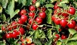 Семена томата-черри Сомма F1