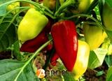 Семена перца Цинтия F1