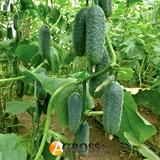 Семена огурца Нибори F1 (KS 90 F1)