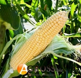 Семена кукурузы Санрайз F1 5000 шт