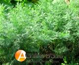 Семена укропа Ройал Дилл 500 г (ANSEME)