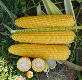 Семена кукурузы Добрыня F1
