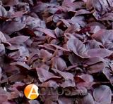 Базилик фиолетовый Жиголо 50 г