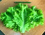 Семена салата Афицион 5 г (5000 шт)
