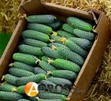 Семена огурца Страж F1 (YS 112-314 F1) 500 шт