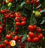 Семена  томата Ралли F1  500 шт