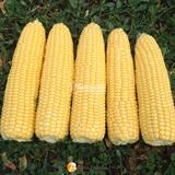 Семена кукурузы Турбин F1 (4351) 5000 шт