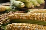 Семена кукурузы биколор Ракель F1