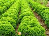 Семена салата Илема