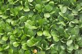 Семена корн - салата Сирила 100 000 шт