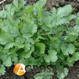 Семена кориандра Нектар 5кг