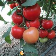 Семена томата Квалитет F1 500 шт.