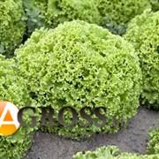 Семена салата Гарон (5000 шт)