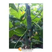 Семена огурца 14015 F1