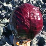 Семена краснокачанной капусты Редгард F1