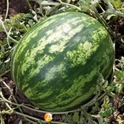 Семена арбуза KS 165 F1