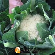 Семена капусты цветной Овиедо F1 2500шт