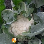 Семена капусты цветной Гудмен 2500 шт