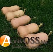 Семена тыквы Винес F1
