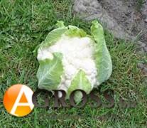 Семена цветной капусты Клиппер F1