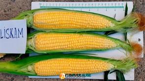 Семена кукурузы Лискам (HMX4366YS) F1