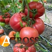 Семена томата Гюсто F1