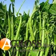 Семена фасоли спаржевой Палома
