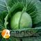 Семена капусты Фарао F1 2500 шт - фото 3700