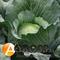 Семена капусты Бронко F1 - фото 3708