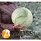Семена капусты Мегатон F1 2500 шт - фото 3710