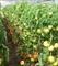 Семена томата Берберана F1 500 шт - фото 4029