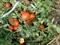 Семена томата Полбиг F1 - фото 5594
