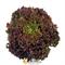 Семена салата Лолло Росса (SAIS) - фото 5639