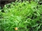 Семена салата Мизуна Зеленая 50 г - фото 5644