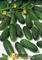 Семена огурца  Маринда F1 - фото 5949
