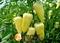 Семена перца Сноувайт 100 шт - фото 5954