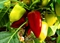 Семена перца Цинтия F1 - фото 6041