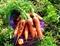 Семена моркови Шамаре - фото 6229