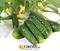 Семена огурца Проликс F1 - фото 6259