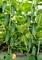 Семена огурца Арктика F1 (Арена F1) - фото 6270
