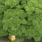 Семена петрушки кучерявой Петра 50 г - фото 6274