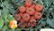 Семена томата Топспорт F1 - фото 6726